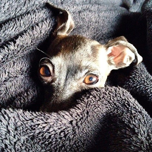 Emma the Italian Greyhound