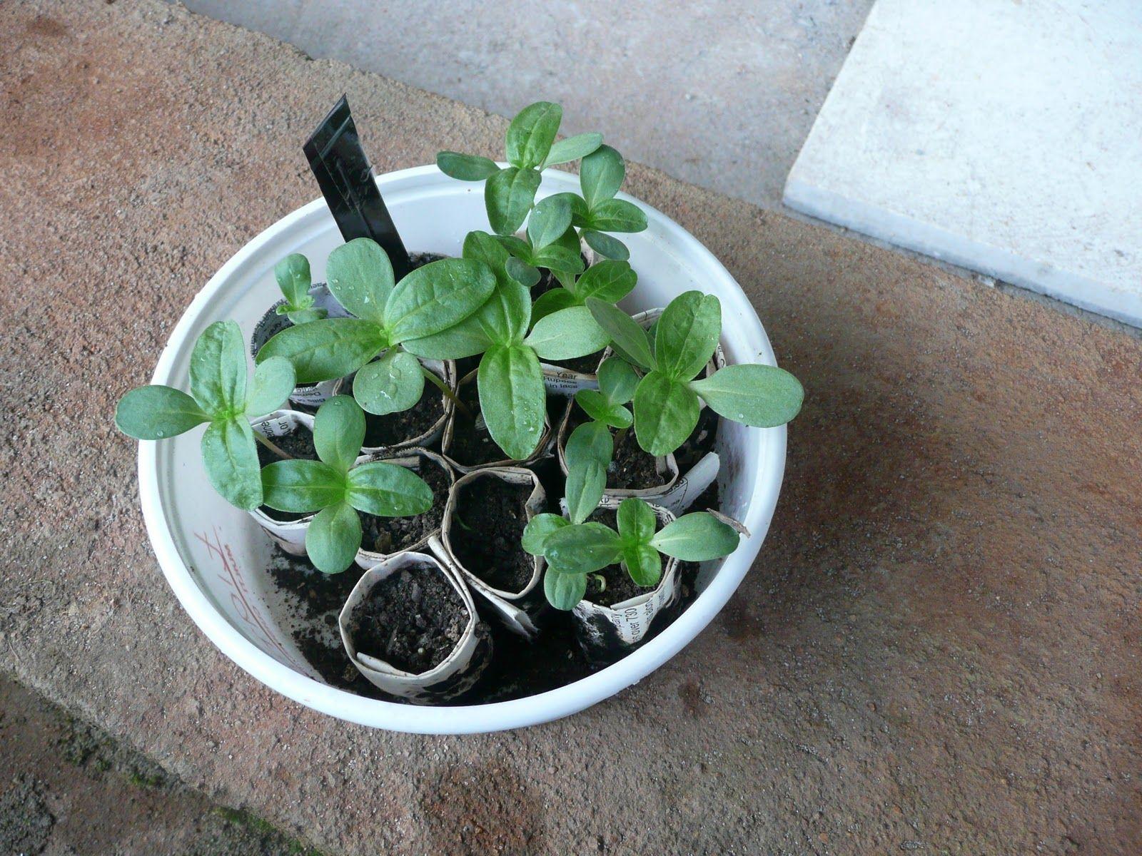Zinnia Garden Pot Designs Html on