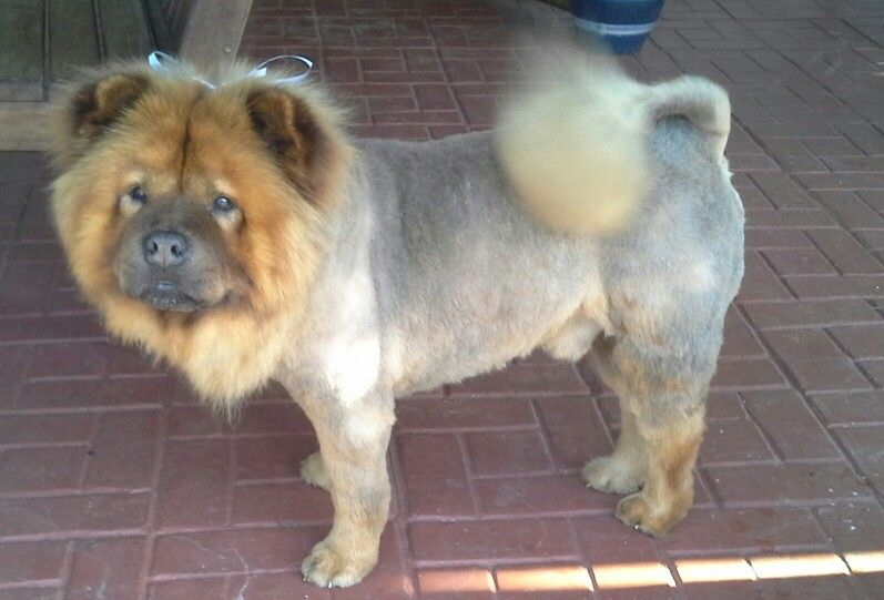 Pin On Chow Lion Cut