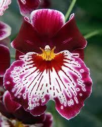 Resultado de imagen para miltonia orchidea