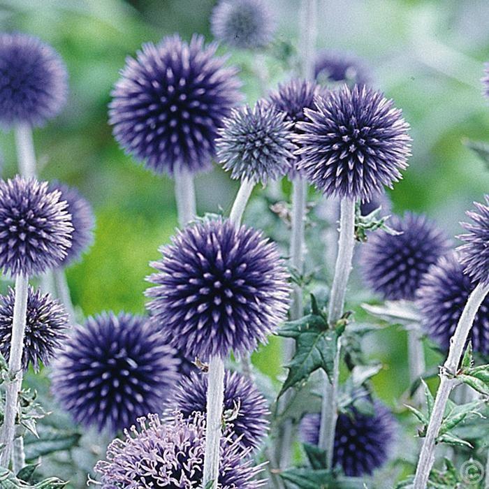 Kugeldistel Veitchs Blue - 1 pflanze günstig online kaufen, bestellen Sie schnell und bequem online