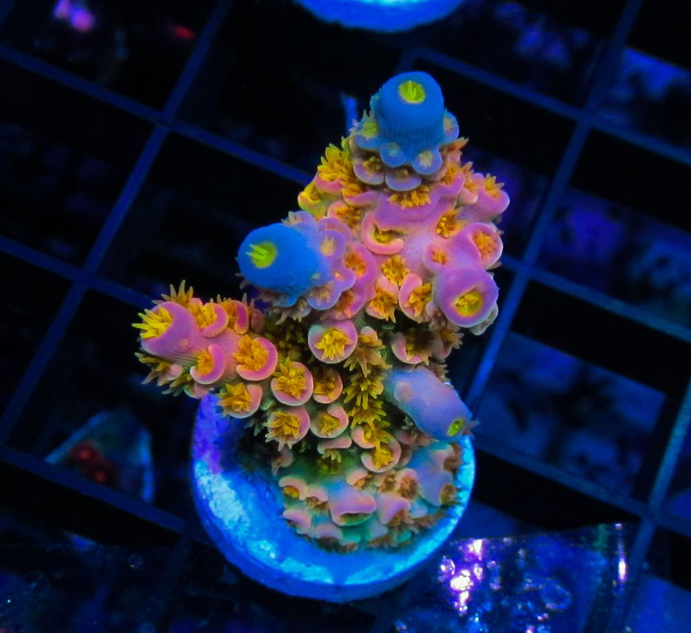 Wd Rainbow Tenuis Sps Acro Acropora Coral Frags Wysiwyg