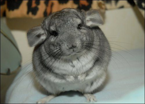 Chinchilla Chinchillas Are Quite Possibly The Most Adorable Member Of The Rodent Family With Their Amazingly Soft Fu Chinchilla Cute Chinchilla Pet Pet People