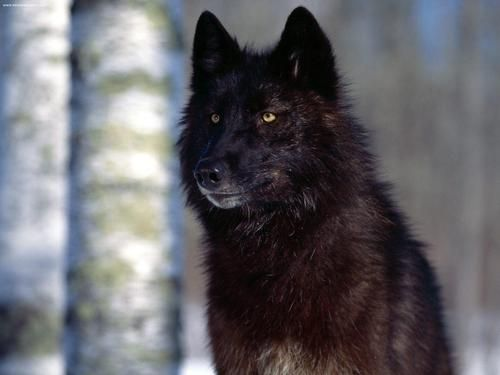 Black Wolf - black Wallpaper
