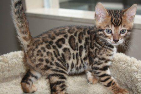 Bengal Kitten With Big Rosettes Bengal Kitten Bengal Cat Kittens
