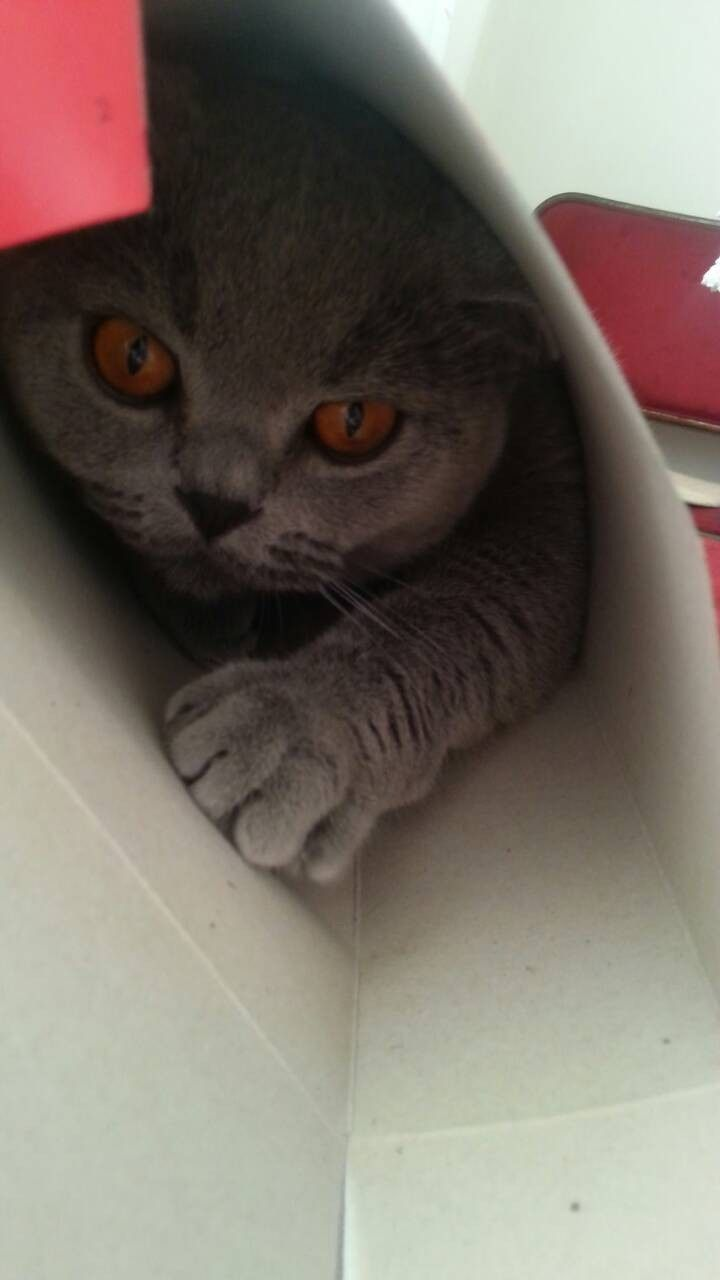 Teddy In The Box For The Cornflakes British Shorthair Animals Cats