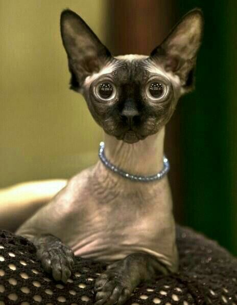 Amazing Facts You Have To Know About Donskoy Cat Anifa Blog Beautiful Cats Hairless Cat Spinx Cat