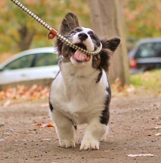 Cardigan Welsh Corgi 'helping' with his leash
