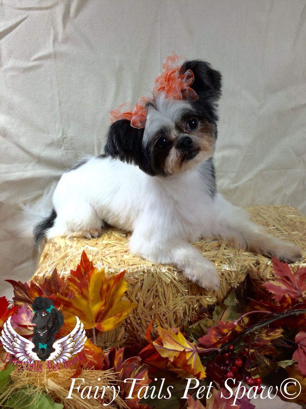 Oreo For Adoption With The Bluegrass Shihtzu Rescue Lexington