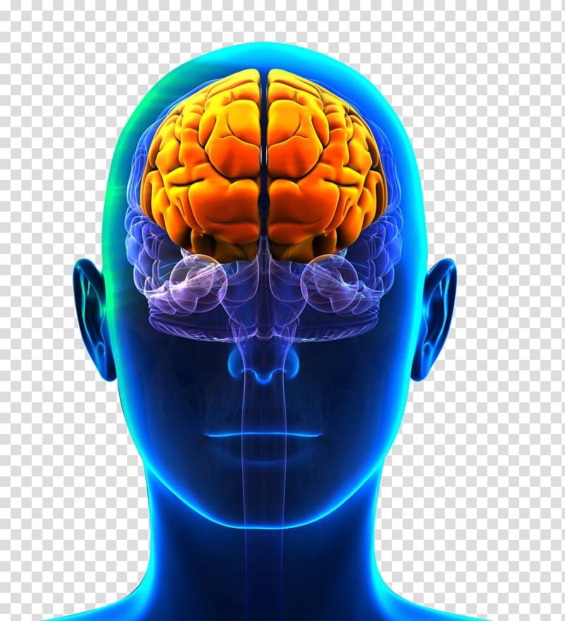 Prefrontal Cortex Frontal Lobe Cerebral Cortex Lobes Of The Brain Brain Transparent Background Png Clipart Cerebral Cortex Frontal Lobe Brain Mapping