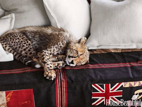 Sheba, an orphaned cheetah cub, snoozes on a Union Jack throw by Andrew Martin for Lee Jofa. Design: Suzanne Kasler. housebeautiful.com