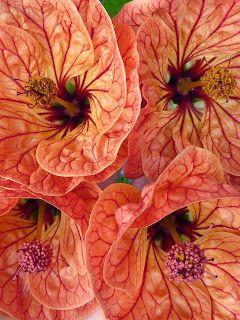 Abutilon Cross Pollination Breeding Propagation Flowering Maple