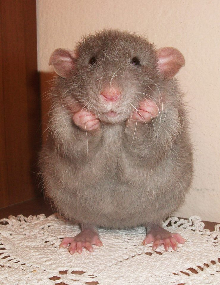 People find rats gross but I think they are flipping