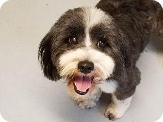 Naples, FL Tibetan Terrier Mix. Meet Max, a dog for