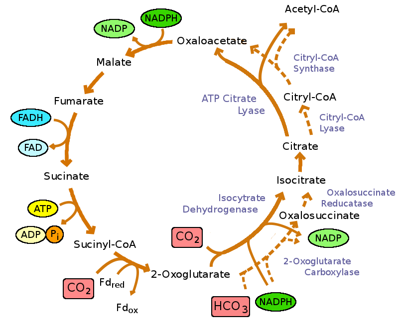 The Krebs Cycle is the central metabolic pathway in all aerobic ...