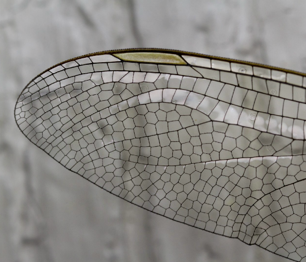Pin By Stephanie Knodler On Textures Patterns Dragonfly Wings Dragonfly Drawing Dragonfly