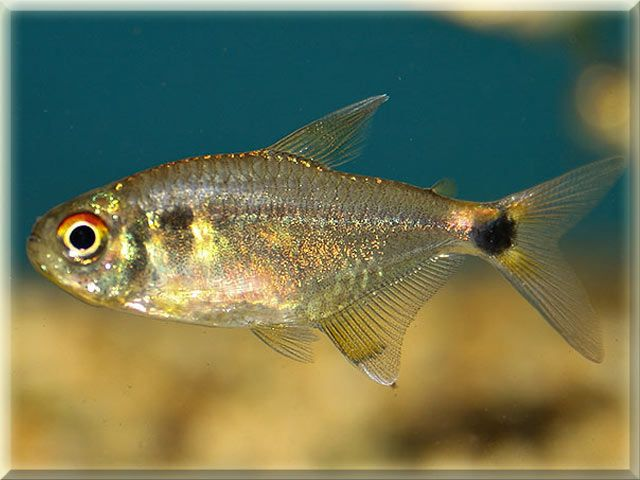 Head And Tail Light Tetra Fish Pictures Freshwater Fish Fish