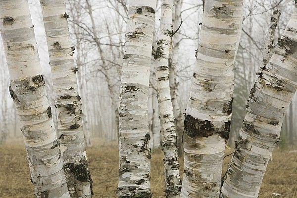 Birch in fog. One of my favorite pieces of art is a Susan Dykstra, of birch trees, gifted to me by my darling daughter...love Susan's birch trees!
