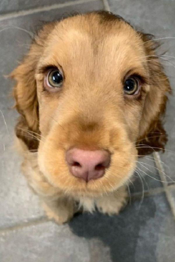 Meet Winnie, The Cocker Spaniel With Gorgeous Eyes