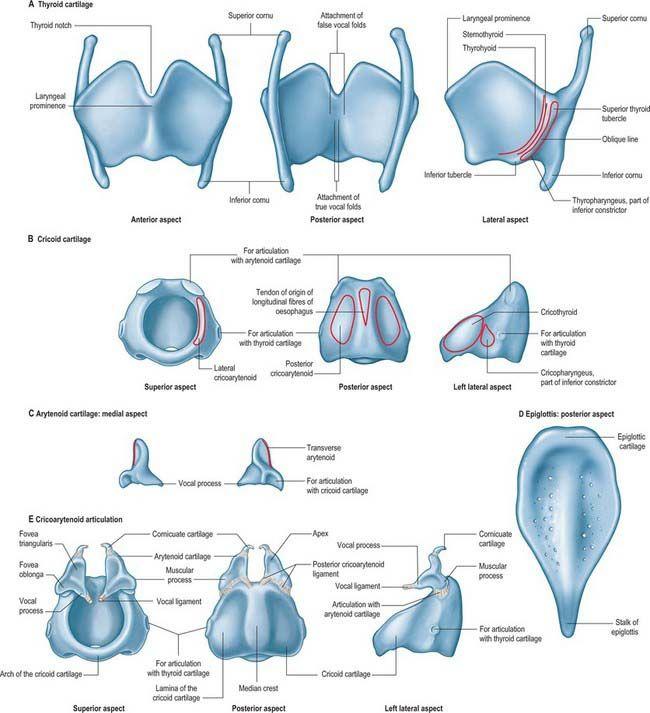 La laringe :)) www.alejandra-toledano.com | anatomia | Pinterest