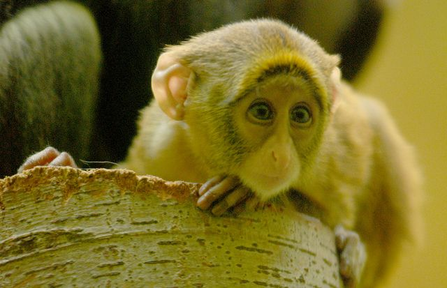 brazza monkey | Flickr - Photo Sharing!  everland .korea