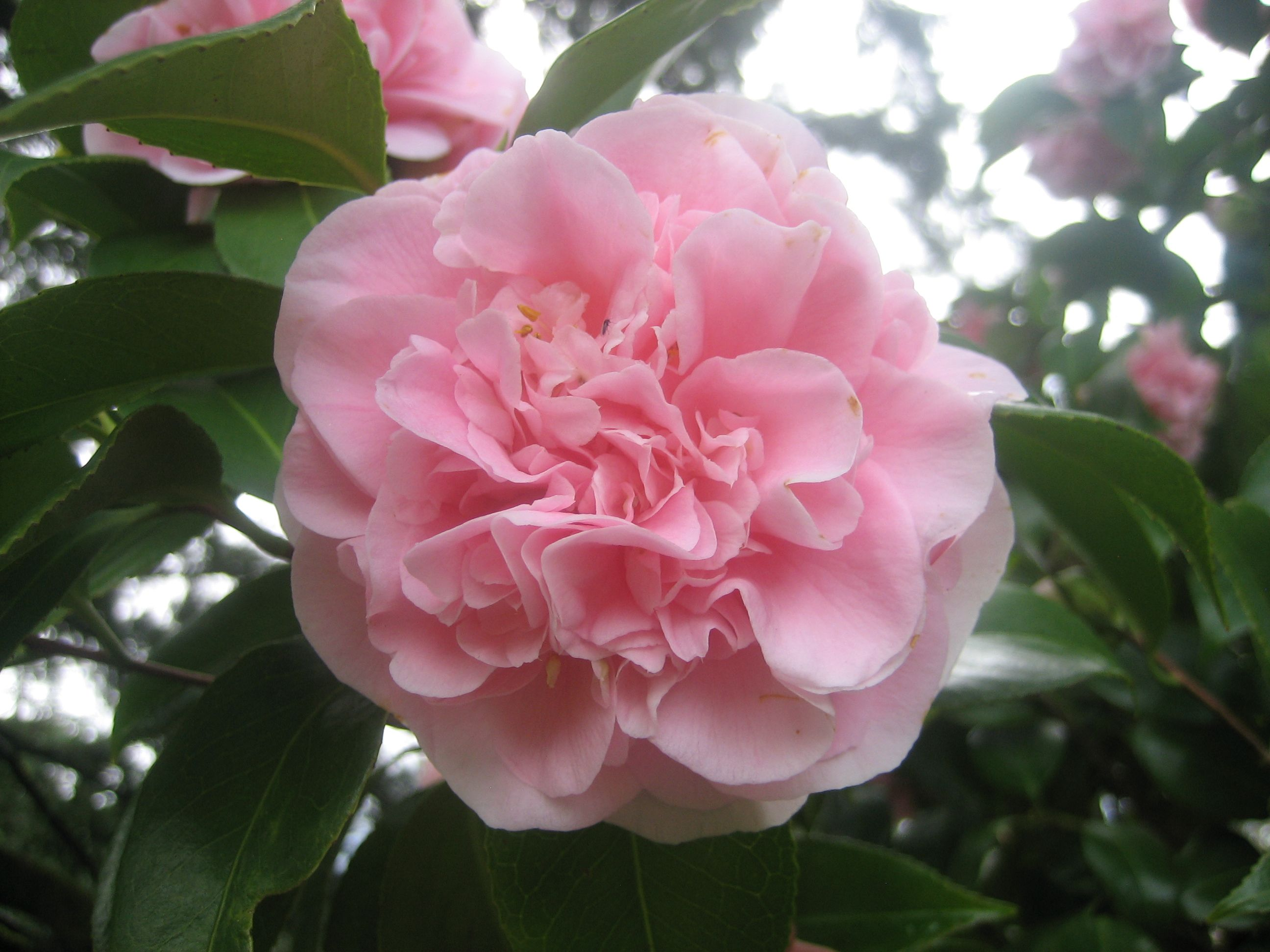 Camellia Japonica Debutante February March With Images Flower Garden Flowers