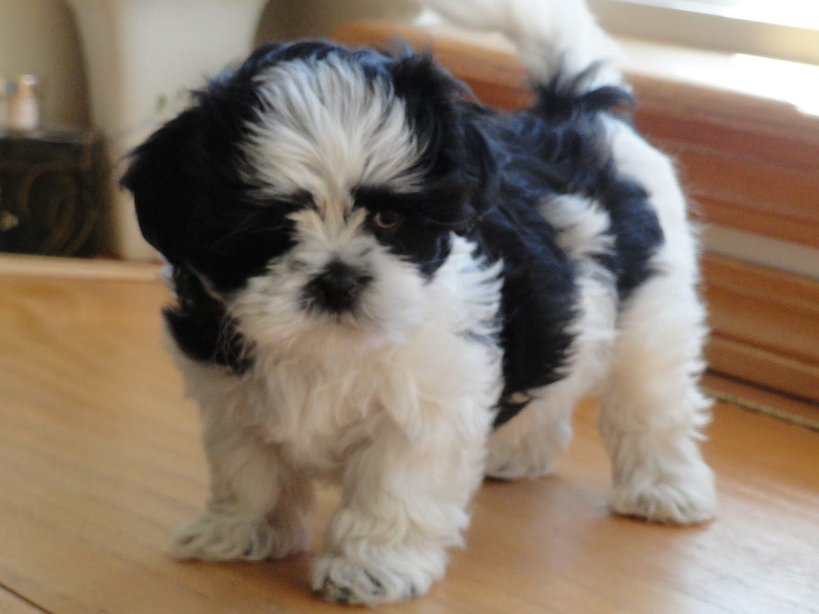 Marvelous Malshi S Toffee Truffle S Most Recent Pups They All Are Now Happily Situated With New Families Maltipoo Puppy Teddy Bear Puppies Cute Dogs
