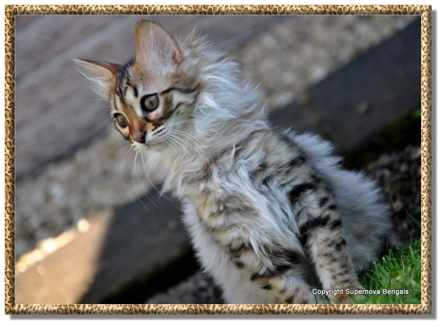 Supernova Bengals Bengal Cat Breeders Based In Alloa Scotland Specialising In Marbled And Snow Be Bengal Kitten Bengal Kittens For Sale Bengal Cat Breeders