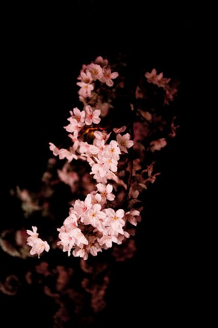 Aesthetic Dark Cherry Blossom Iphone Wallpaper