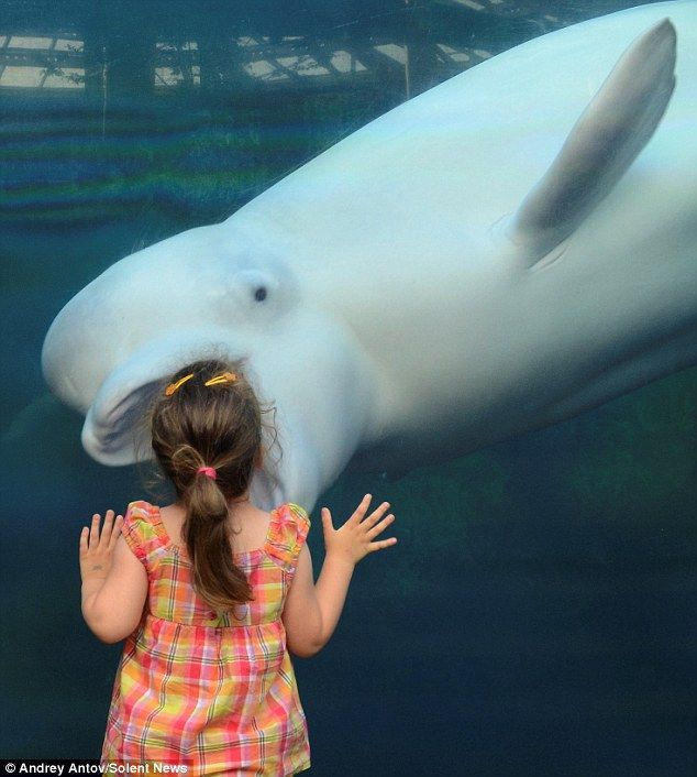 incredible photos make white beluga whale look like hes about to swallow girl 3 in one gulp