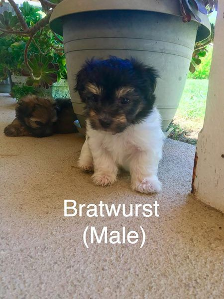 Litter Of 4 Havanese Puppies For Sale In Temecula Ca Adn 40715
