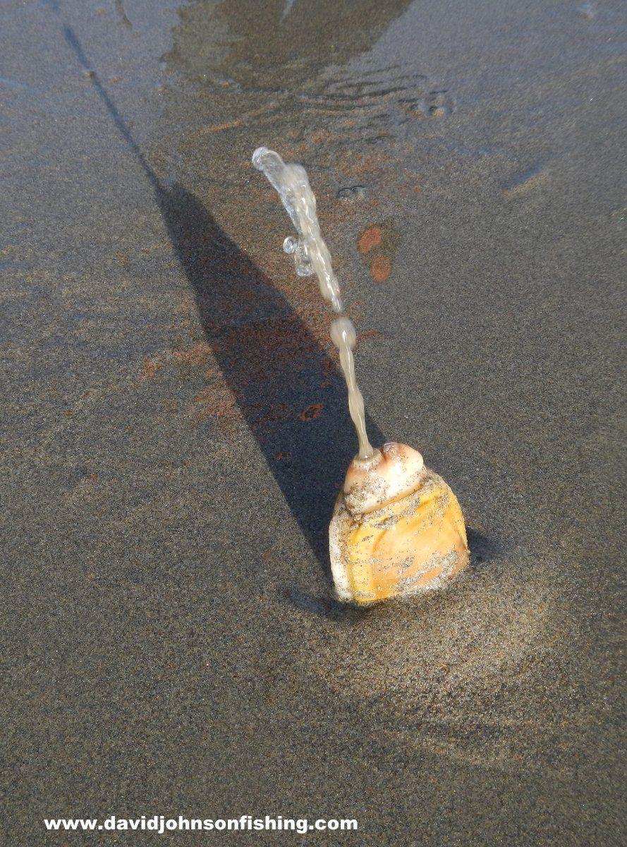 Oregon razor clam Oregon razor clam