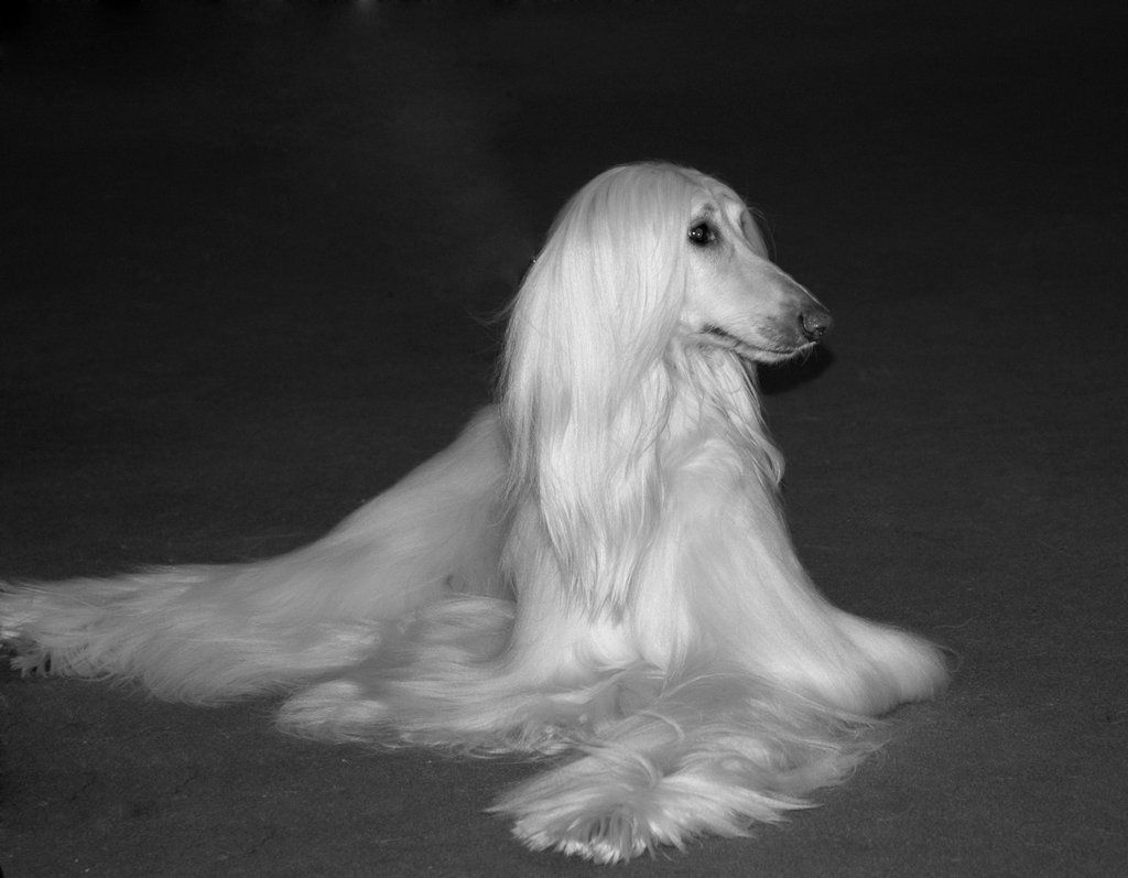 Image result for world's prettiest dog afghan hound pic