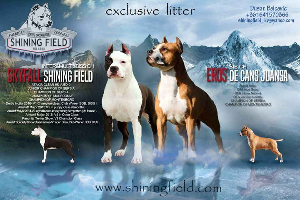 Puppies For Sale American Staffordshire Terrier American