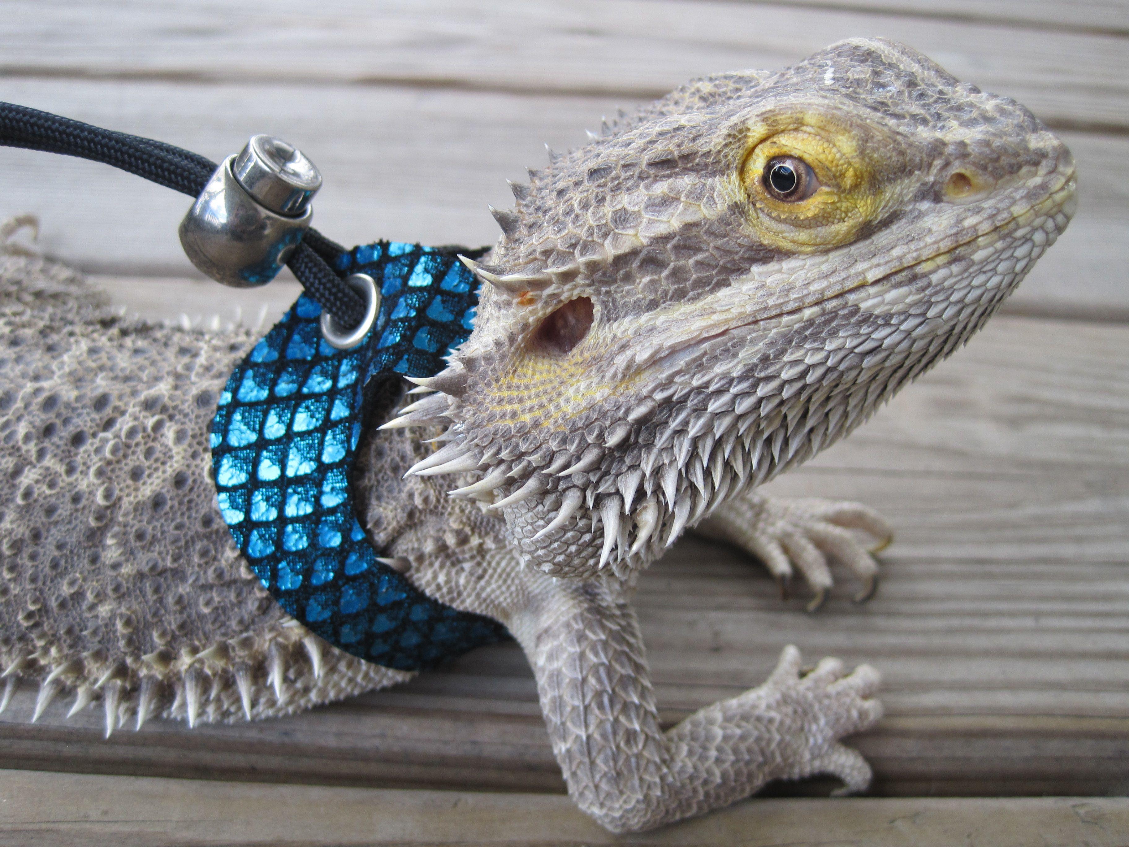 Leather Lizard Harness by Lizard rs | Lizard rs | Pinterest ...