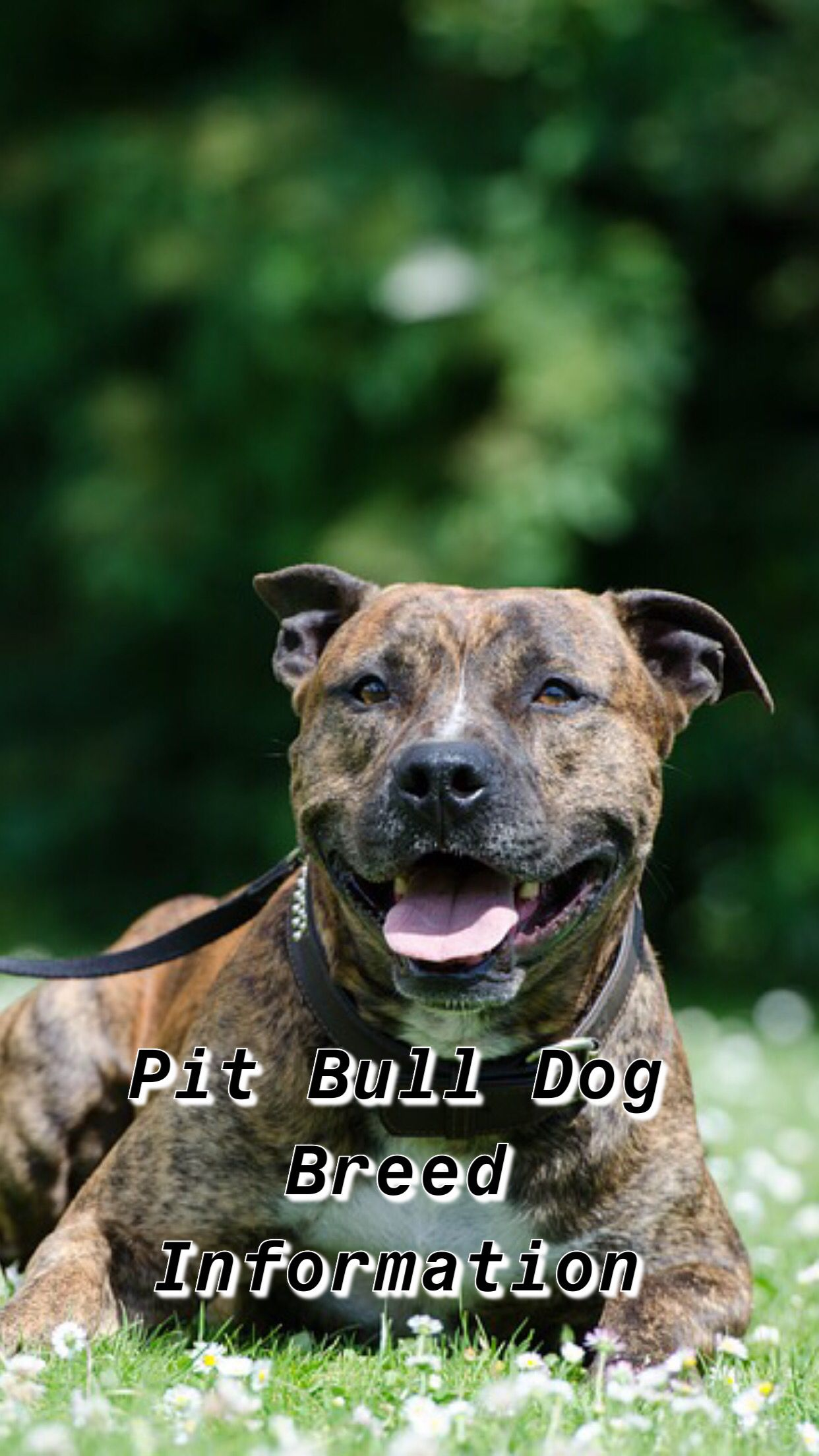 Pin On Pit Bull Dog Breed Information