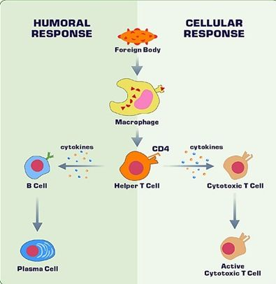 Immune Responses This Is A Flow Chart That Compares Humoral And