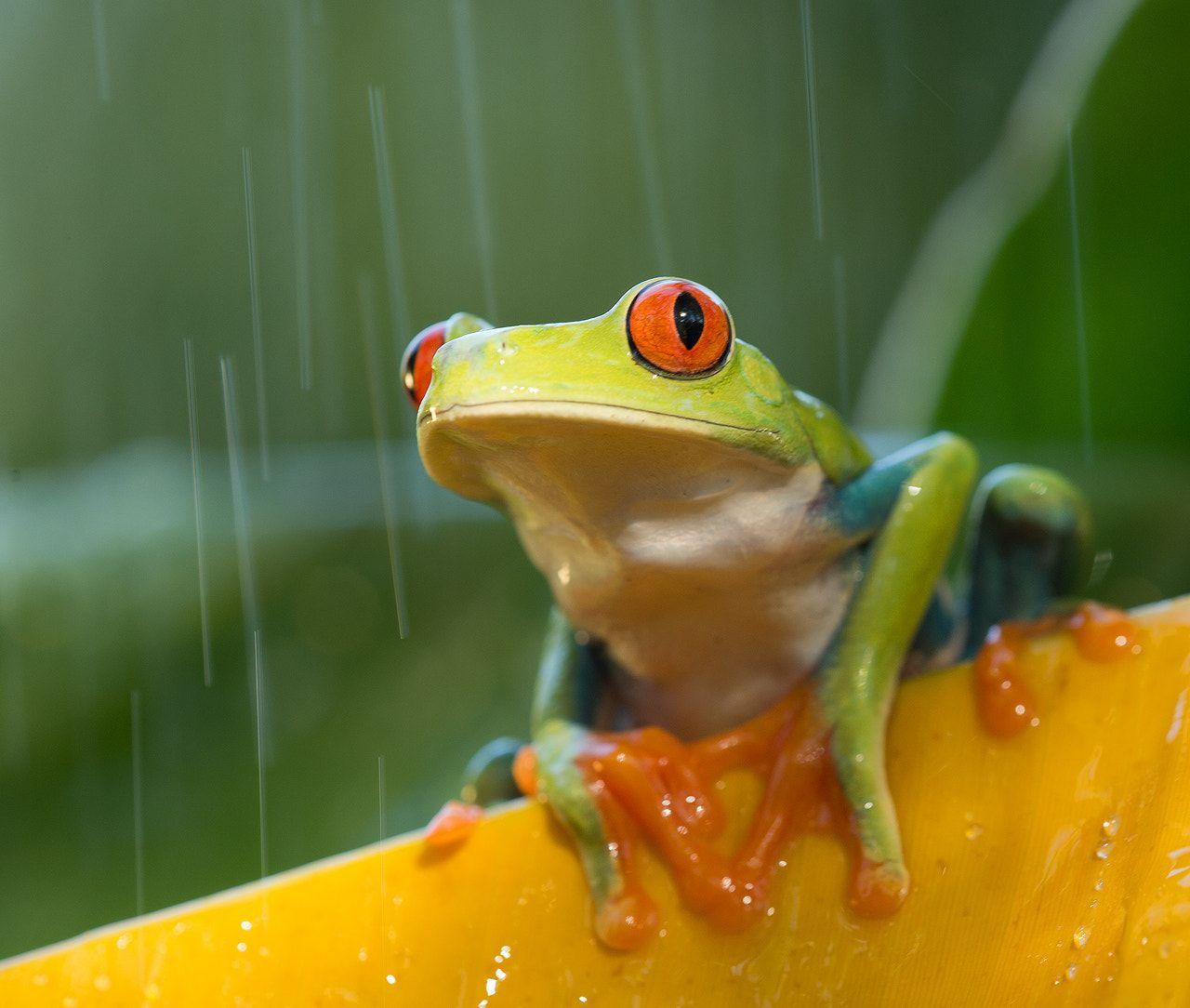 Red-eyed tree frog - Red-eyed tree frog, captive.