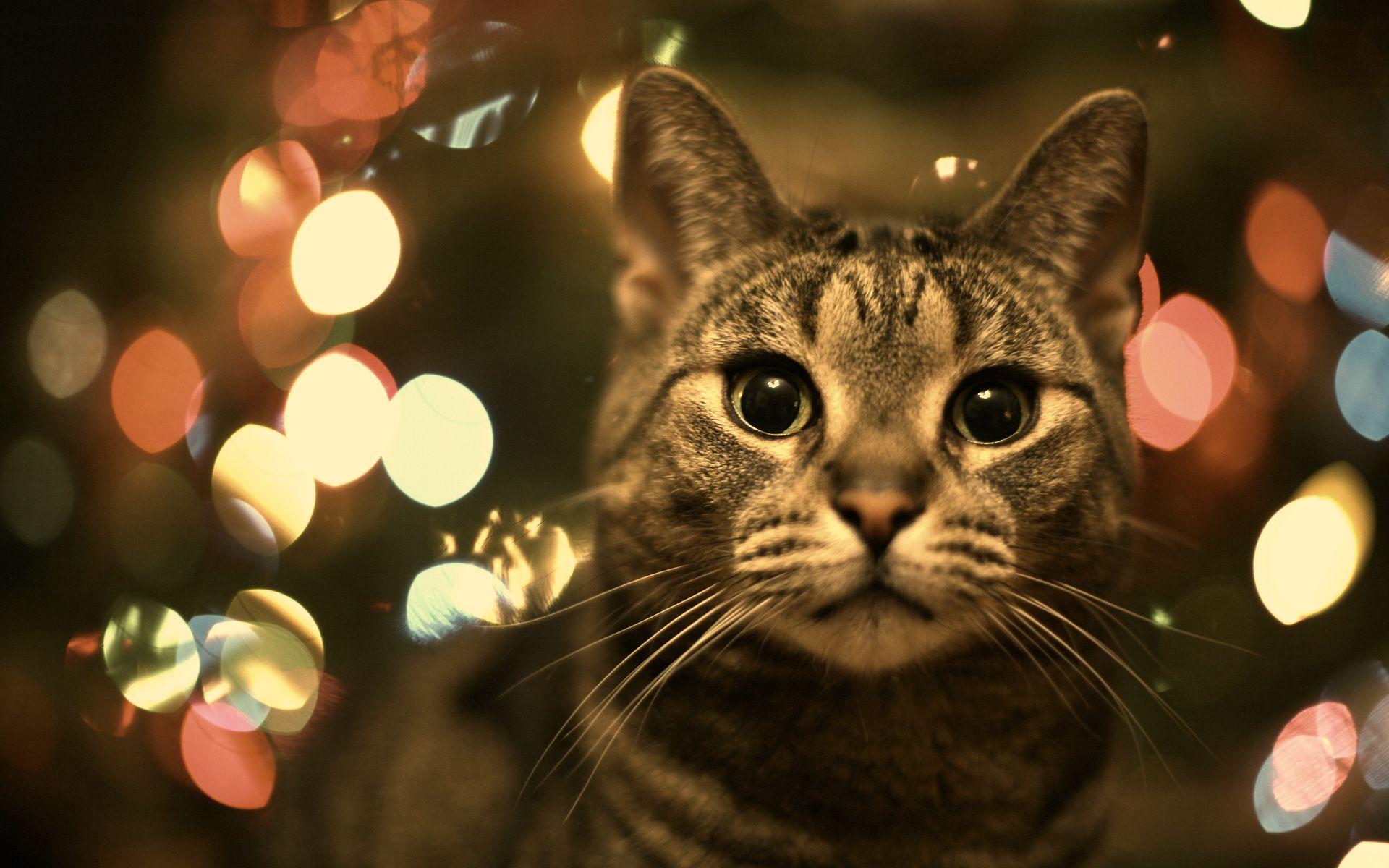 Christmas Cat Wallpaper Christmas Cats Cat Wallpaper Kitten Wallpaper