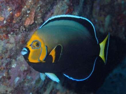 Conspicuous Angelfish Chaetodontoplus Conspicillatus Great Barrier Reef Marine Fish Angel Fish Sea Fish