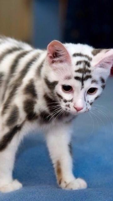 It S Soo Cute Looks Like A Tiger Gatinhos Fofos Gatos Animais De Estimacao
