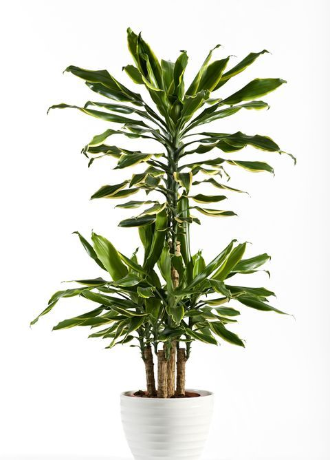 These Are the Best Indoor Trees for Every Room of Your House is part of Best indoor trees, Indoor trees, Plants, Indoor tree plants, Indoor palm trees, Indoor plants - Bring the outdoors in