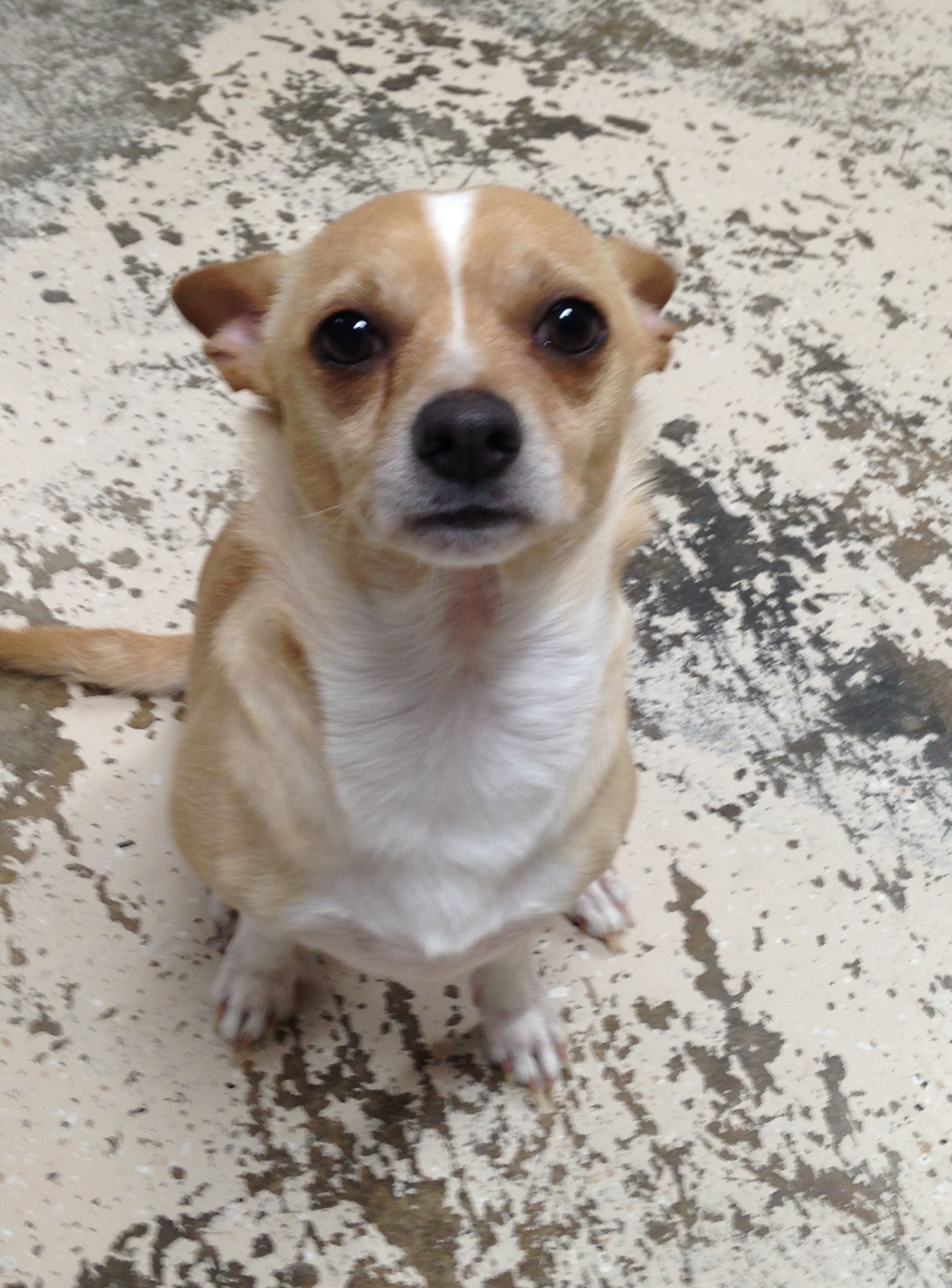 Chihuahua Dog For Adoption In Albemarle Nc Adn 486515 On