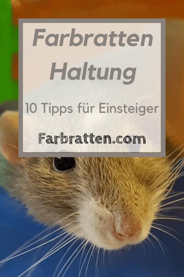 10 Tipps Zur Haltung Von Farbratten Fur Einsteiger In 2020 Farbratten Ratten Haltung Ratten