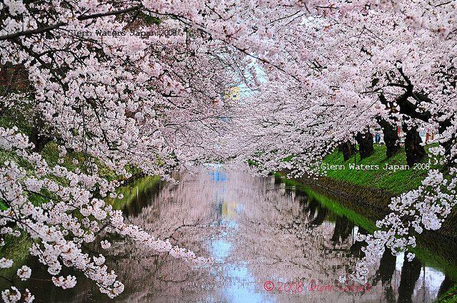 Cherry Blossoms Over Sakura Moat Hirosaki Japan Cherry Blossom Japan Hirosaki Blossom Garden