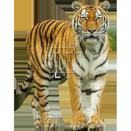 It S A Tiger Immediate Entourage Wild Animals Pictures Wild Animals Photos Animal Printables