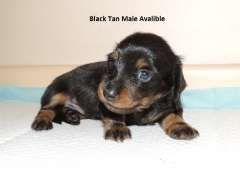 Miniature Longhaired Dachshund Puppies Dogs Sa Registered