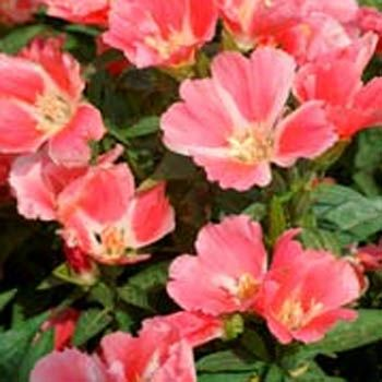 Godetia Seed Farewell To Spring Flower Seeds Flower Seeds Poppy Flower Seeds Flowers