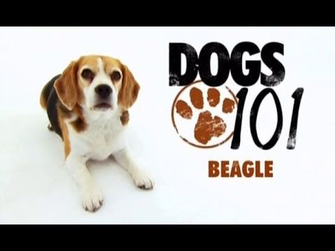 Dogs 101 Beagle Youtube Dogs 101 Beagle Dogs