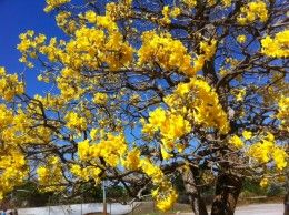 A yellow flowering tree the tabebuia dr edwin a menninger the the mainstreet of stuart florida is lined withtabebuia treesgorgeous yellow blooms in march mightylinksfo